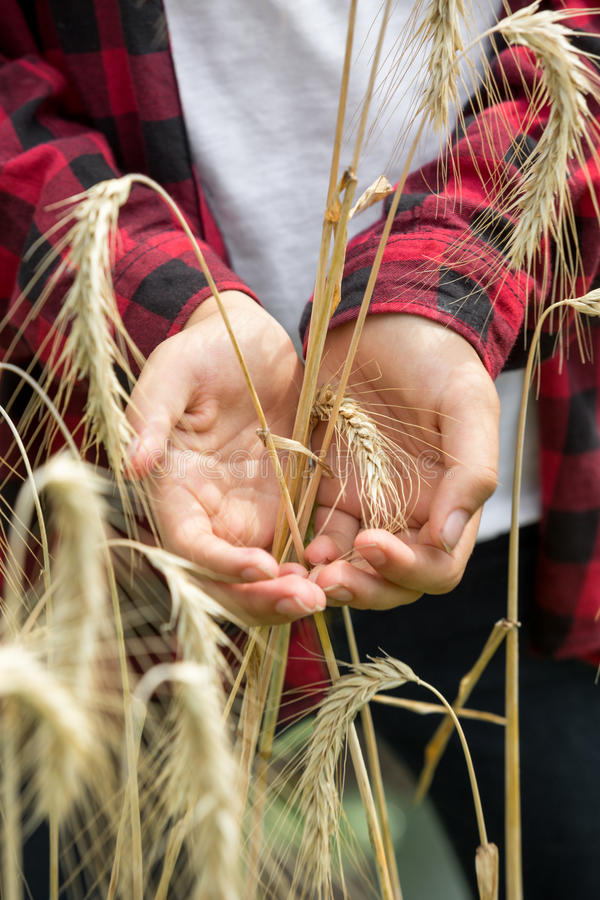 金黄麦子耳朵在年轻农夫手上 免版税库存照片