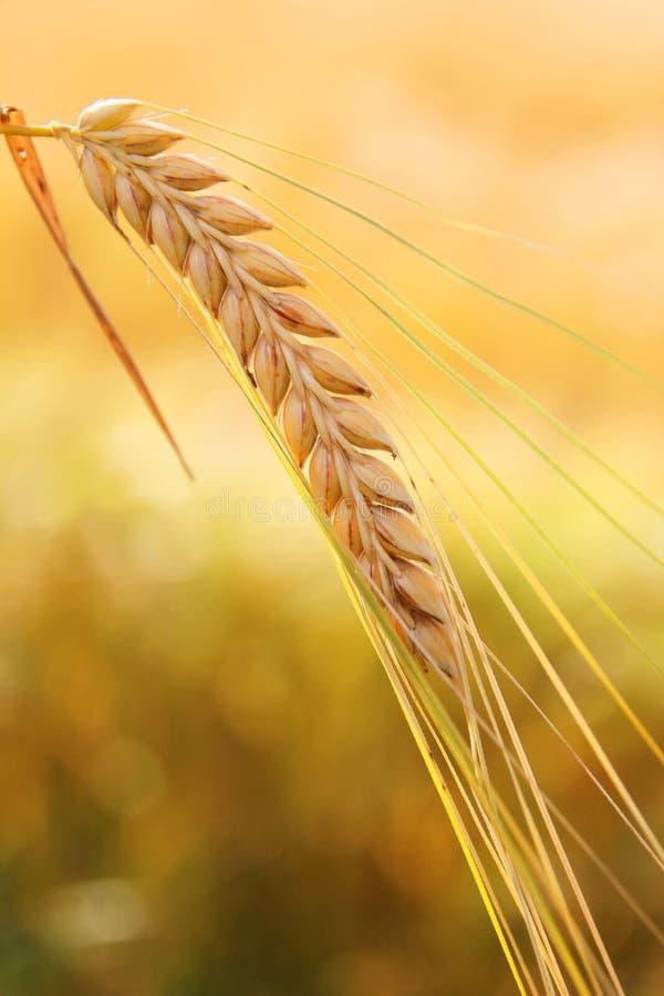 金黄麦子耳朵 免版税库存图片