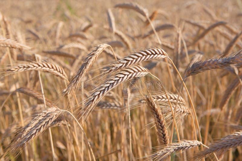 金黄麦田,收获和种田 免版税库存图片