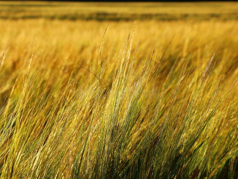 金黄黑麦领域在夏天 库存图片