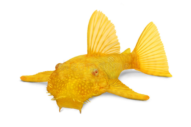 金黄Ancistrus pleco鲶鱼ancistrus dolichopterus 库存图片