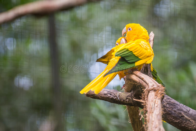 金黄conure鹦鹉( Guaruba guarouba)在Parque das Aves 库存图片