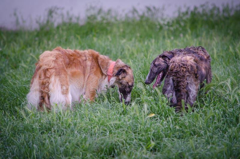金` n `白色和布朗俄国猎狼犬IV 库存图片