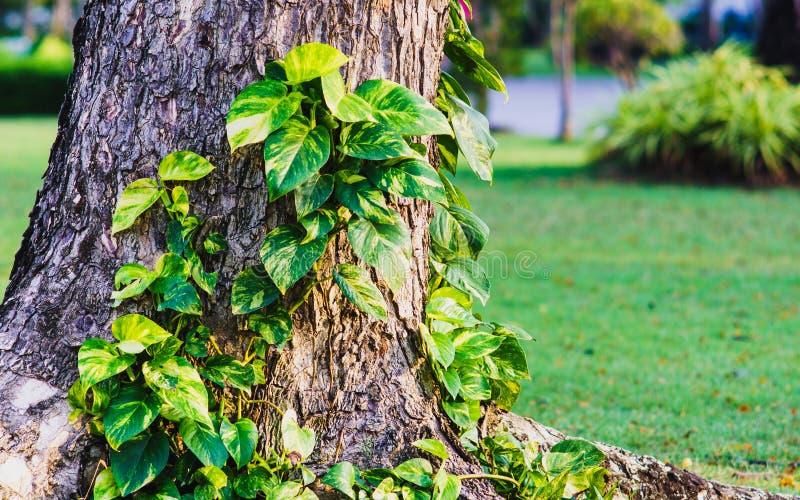 金黄pothos或恶魔上升在树的` s常春藤在公园 Tropi 免版税库存图片