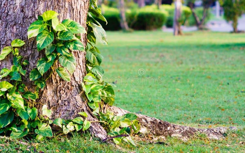 金黄pothos或恶魔上升在树的` s常春藤在公园 Tropi 图库摄影