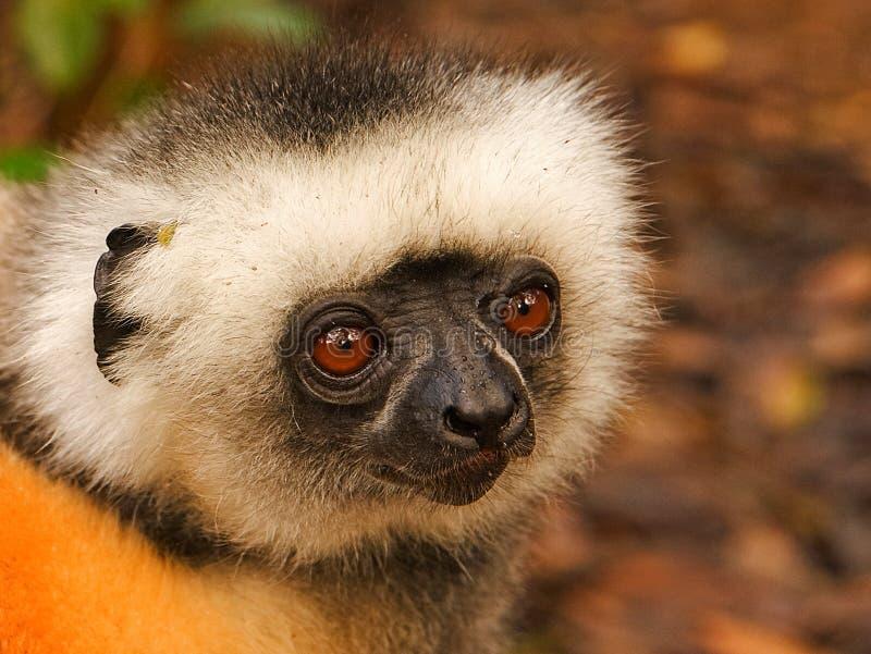 金黄Sifaka狐猴,马达加斯加 库存照片