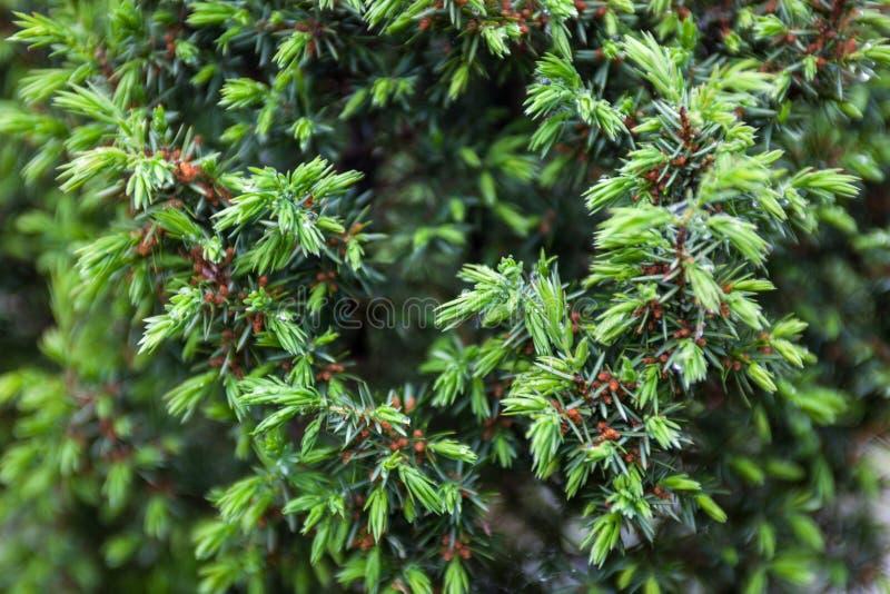 针叶树分支 微小的锥体和年轻浅绿色的射击 库存照片