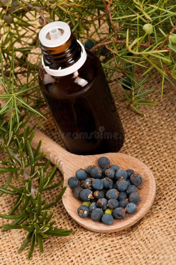 针叶树杜松分支,蓝色莓果木匙子ful, t 库存图片
