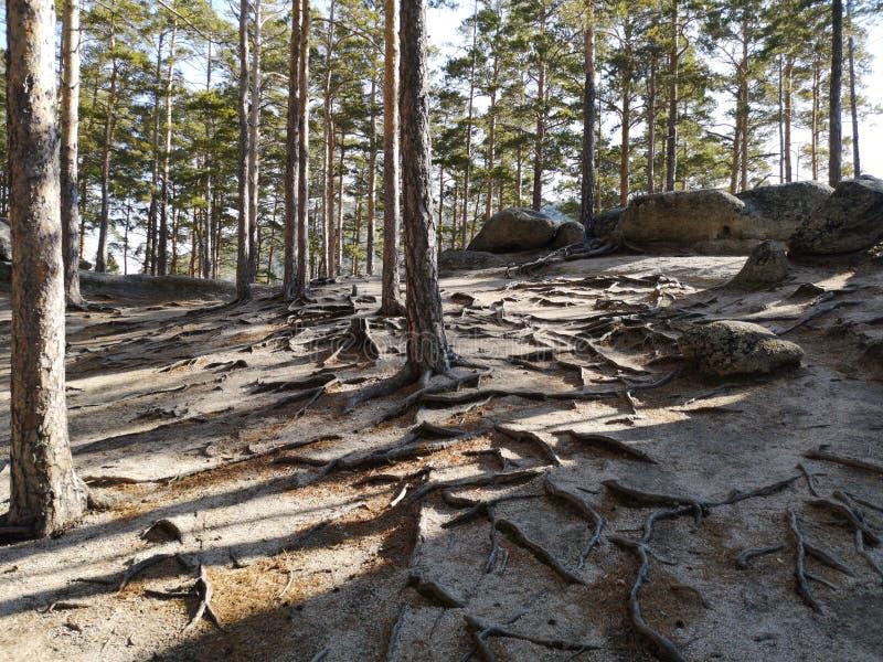 针叶树根系统在山森林里 免版税库存图片