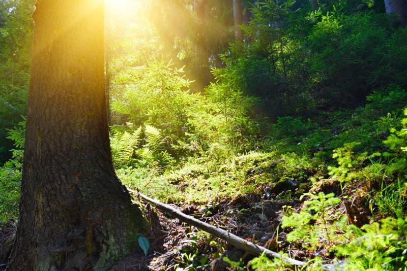 针叶树森林看法晴朗的天气的 库存照片
