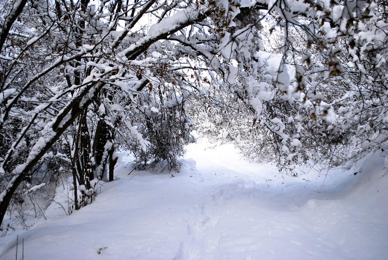 针叶树森林雪 免版税库存图片