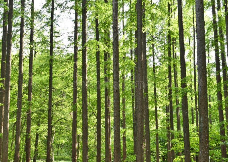 针叶树森林 免版税库存图片