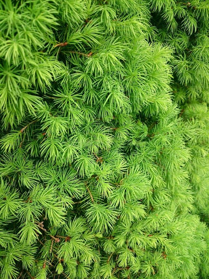 针叶树绿色纹理与下落的在雨以后 免版税库存照片