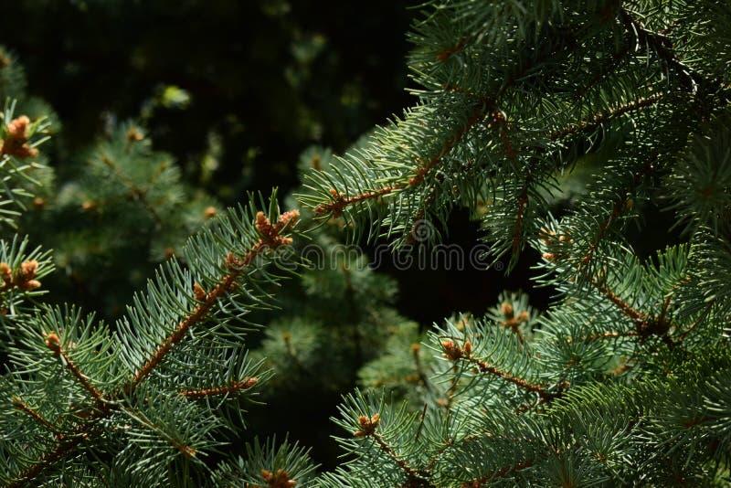 针叶树黑暗的分支  免版税图库摄影