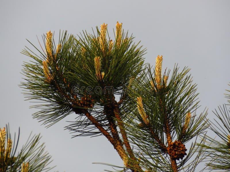 针叶树 松树分支 开花的松树和杉木针 库存照片
