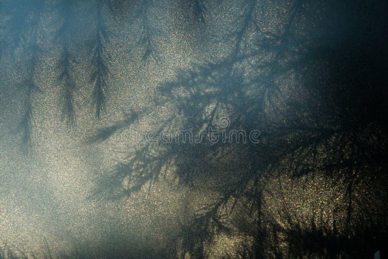 针和分支雪松雪松树,进行下去的乳浊玻璃剪影  图库摄影