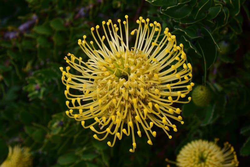 针垫普罗梯亚木, Kirstenbosch植物园,开普敦,南非 图库摄影