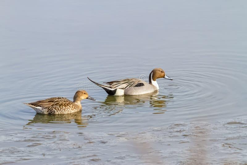 针尾鸭鸭子夫妇游泳在NJ的一个池塘 库存图片