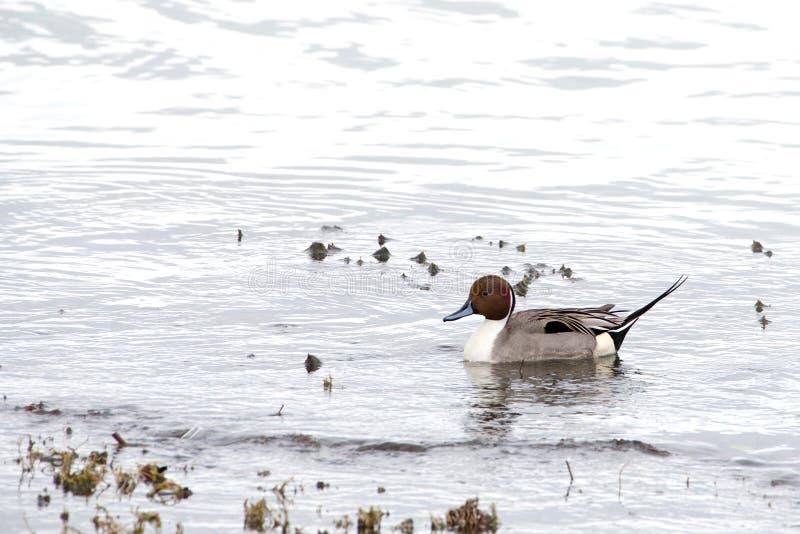 针尾鸭鸭子游泳在阴天 库存照片