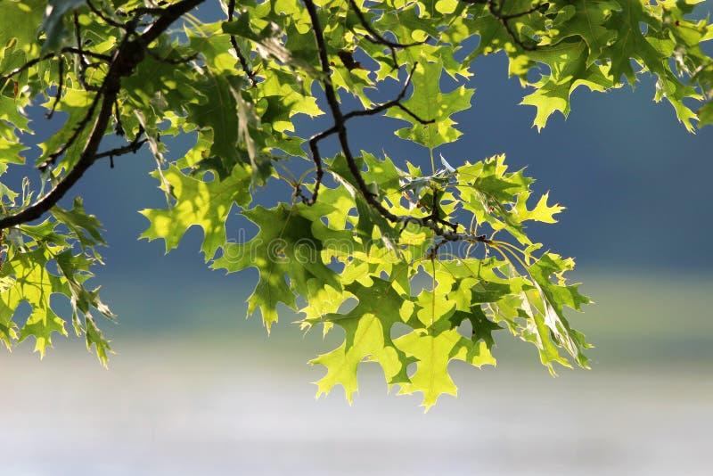 针栎叶子 免版税图库摄影