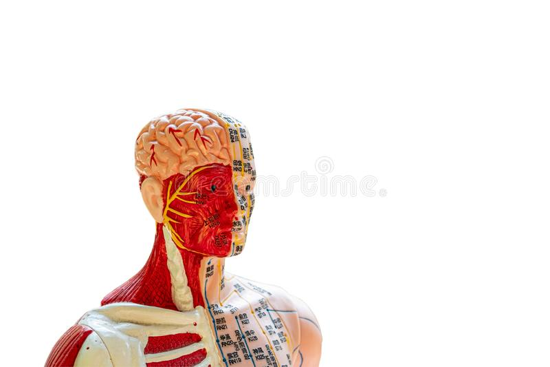 针灸点、骨头、肌肉和内脏形象 库存照片