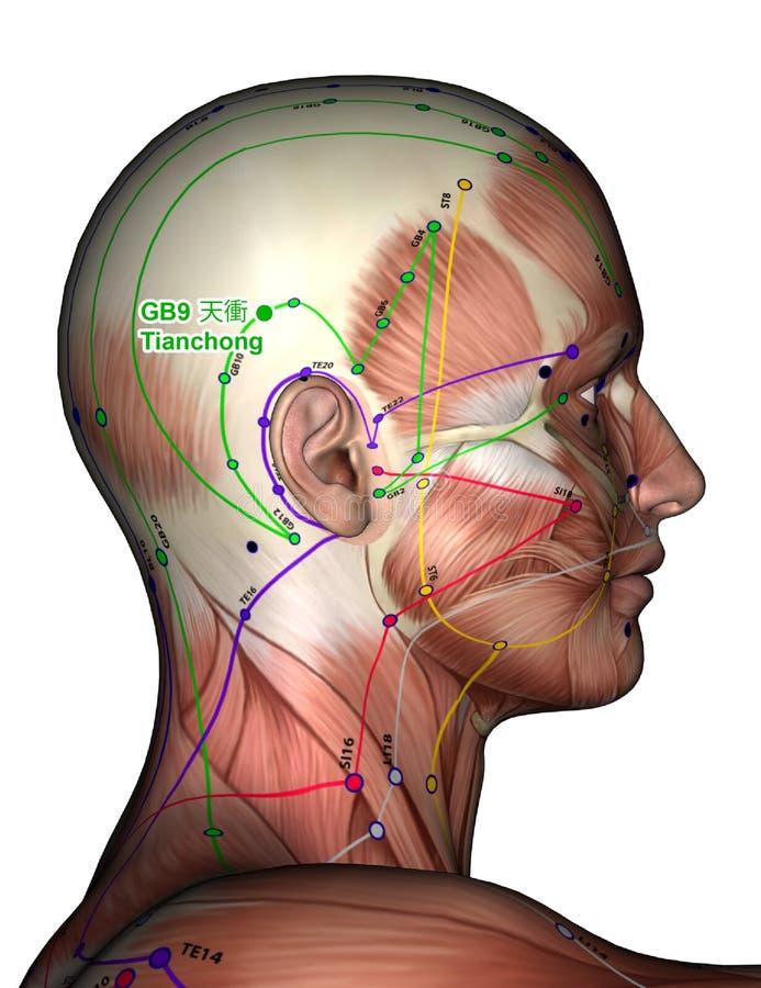 针灸点GB9 Tianchong, 3D例证 库存例证