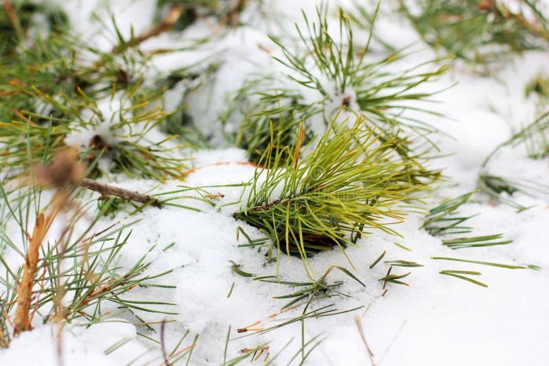针用雪盖 包括的雪云杉 免版税库存照片