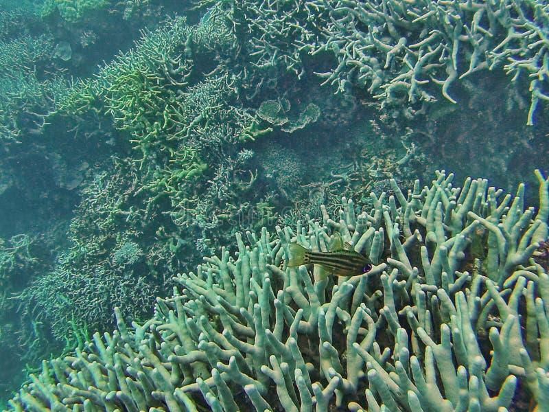 钓鱼在大堡礁的珊瑚头 免版税图库摄影