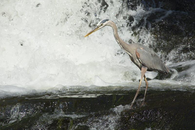 钓鱼在瀑布基地的伟大蓝色的苍鹭的巢在康涅狄格 库存照片