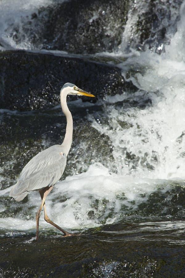 钓鱼在瀑布基地的伟大蓝色的苍鹭的巢在康涅狄格 免版税库存照片