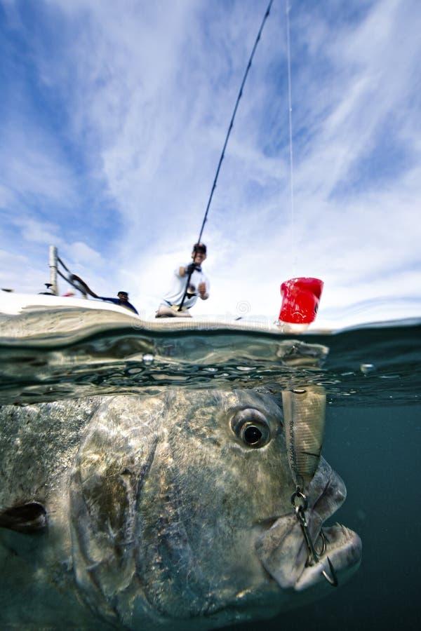 钓鱼巨人的Trevally -流行 免版税库存图片