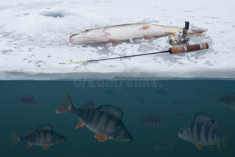 钓鱼概念的冬天冰 雪的派克 从多雪的冰的捉住的栖息处鱼在湖 水面上双重的看法下面和 免版税库存图片
