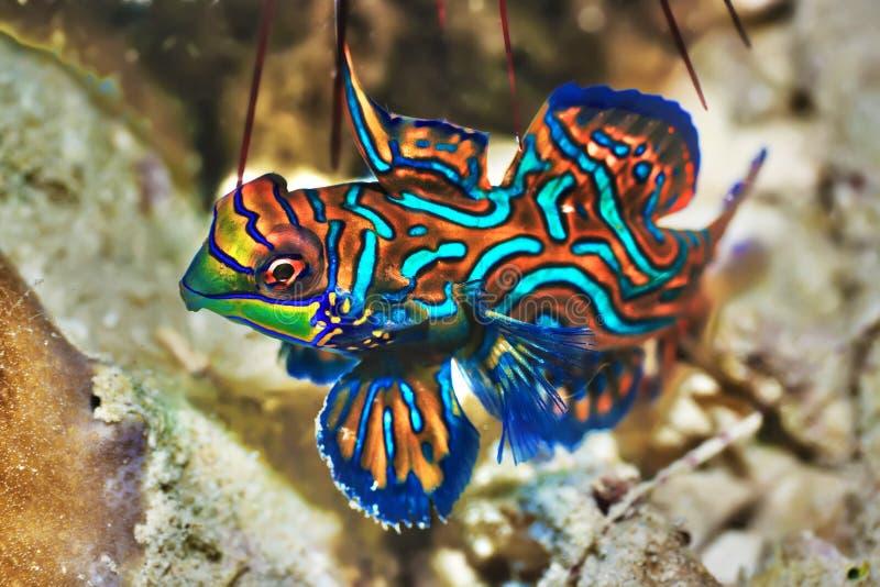 钓鱼热带的mandarinfish 图库摄影