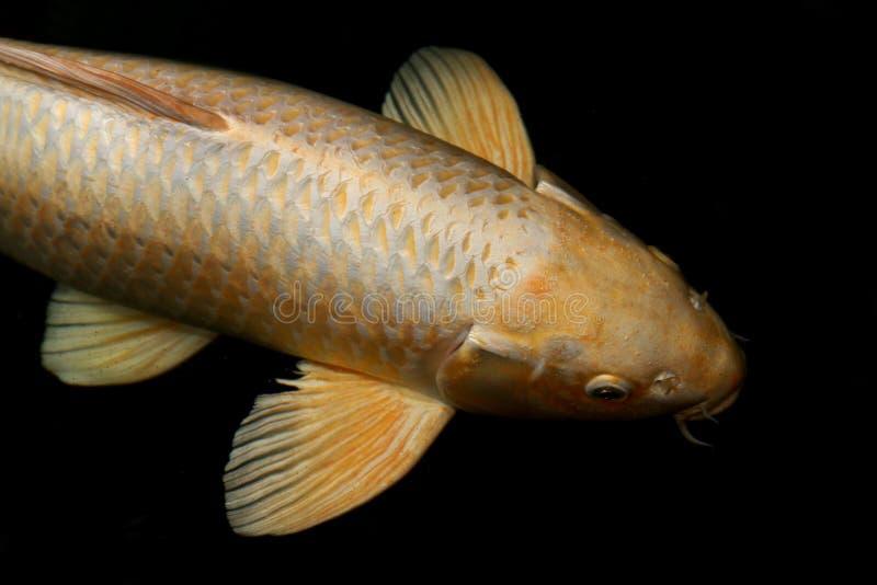 钓鱼鲤鱼,鱼koi金子,金黄气化器,金银铜合金鲤鱼鱼大大小隔绝在黑背景 图库摄影