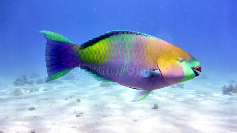 钓鱼鹦鹉红海 免版税库存照片
