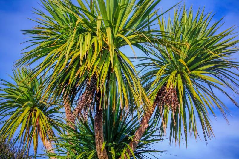 钛kouka新西兰棕榈树 免版税库存照片