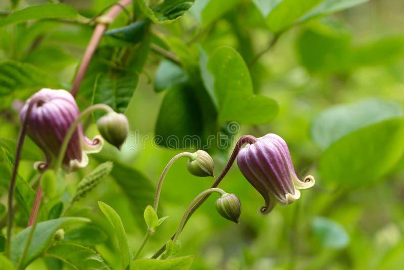 钟形曲线的紫色花 库存照片