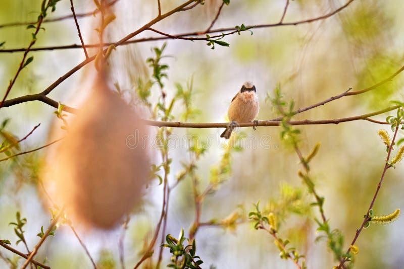 钟摆山雀,雷米斯钟摆,在水附近的树上建草巢 有筑巢材料的欧亚鸟 免版税图库摄影