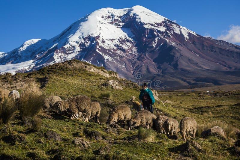 钦博拉索山火山和绵羊 库存照片