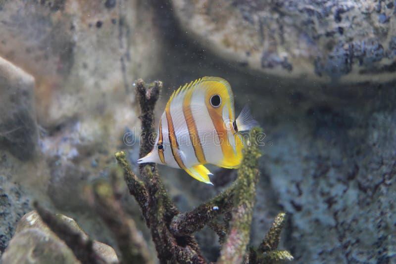 钩形的珊瑚鱼 免版税库存照片