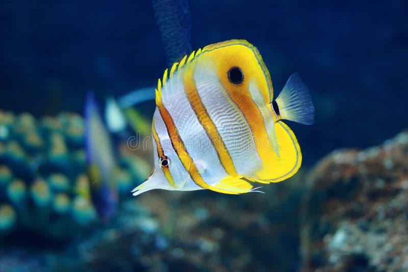 钩形的珊瑚鱼 免版税库存图片