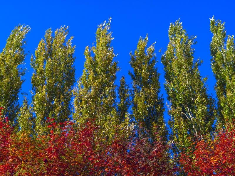 钻天杨反对蓝天的树上面在一个大风天 自然抽象的背景 秋天树,五颜六色的秋叶 图库摄影