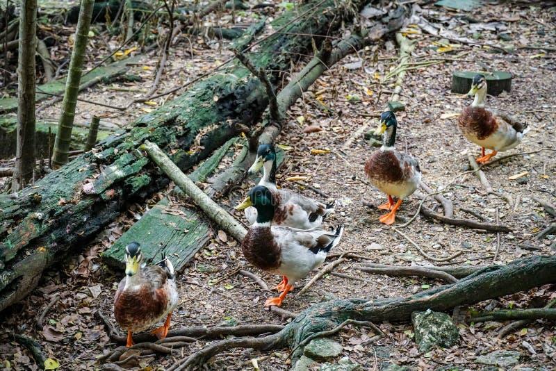 钻水鸭在动物园里 免版税图库摄影