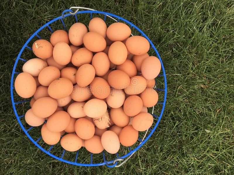铁丝网筐充满在草背景的农厂新鲜的鸡蛋 免版税库存图片