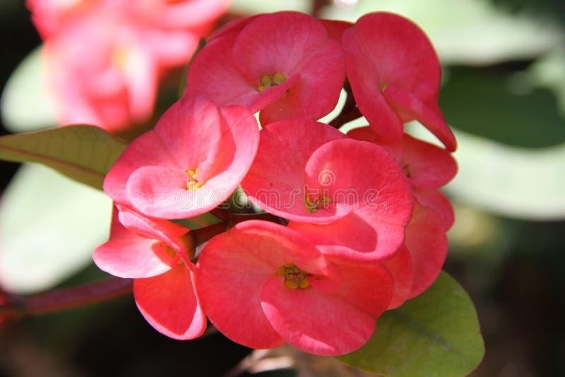铁海棠在庭院里开花 库存照片