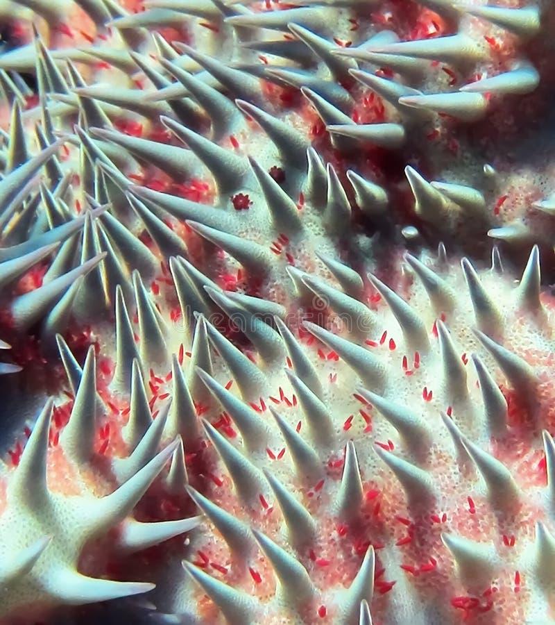 铁海棠宏指令星鱼脊椎 免版税库存图片