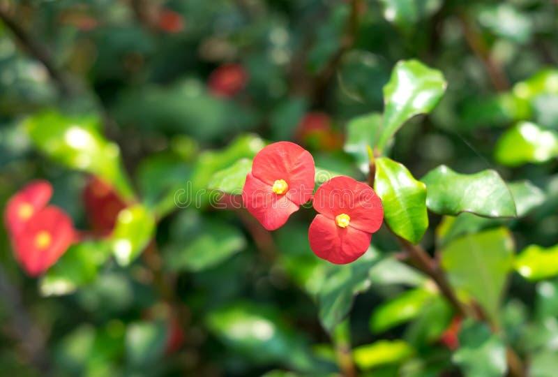 铁海棠花在庭院里 免版税库存照片