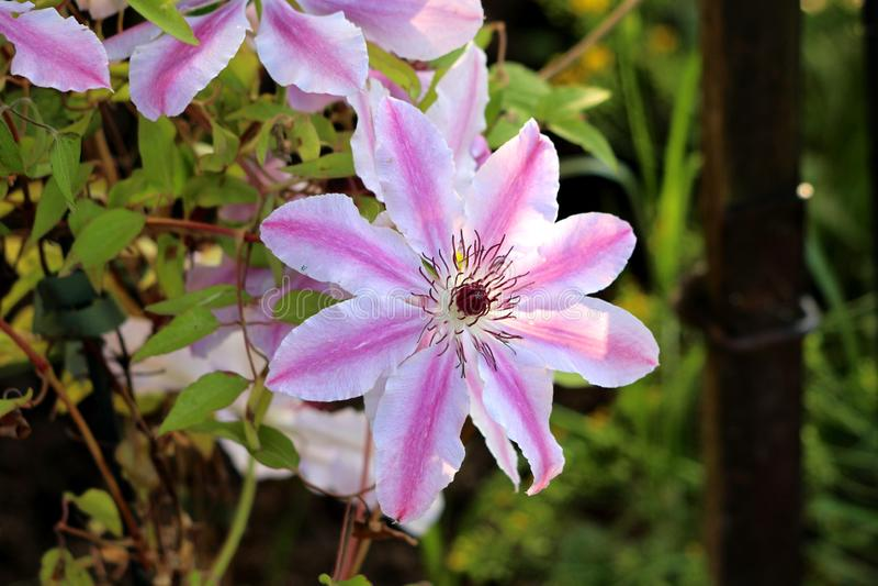 铁线莲属尼利Moser或皮革与似皮革白色的花尼利Moser容易的关心四季不断的藤花与桃红色条纹瓣 库存图片