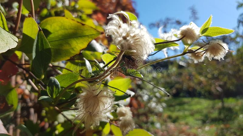 铁线莲属植物退色的花有白色蓬松开花特写镜头的 库存照片