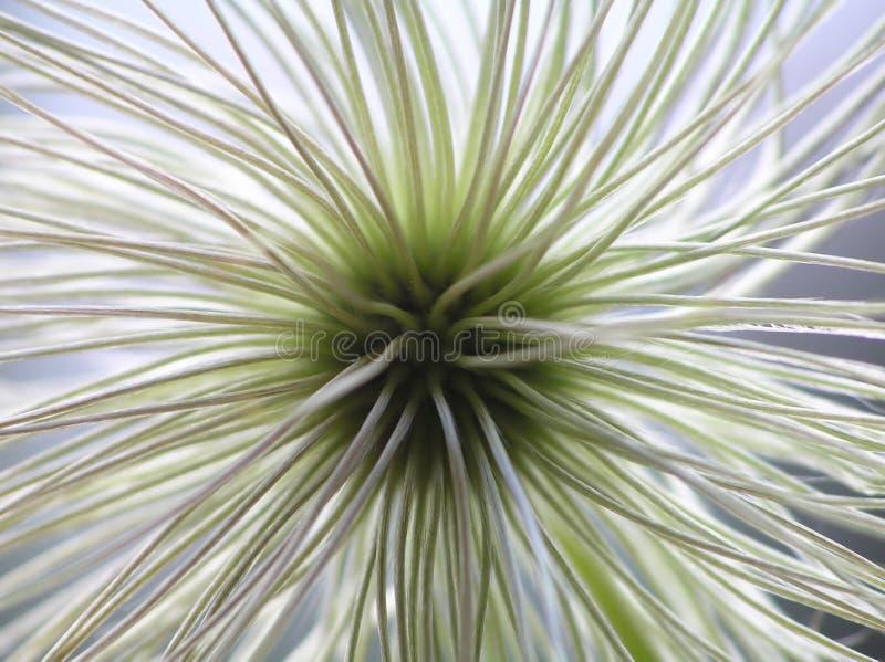 铁线莲属种子 库存照片